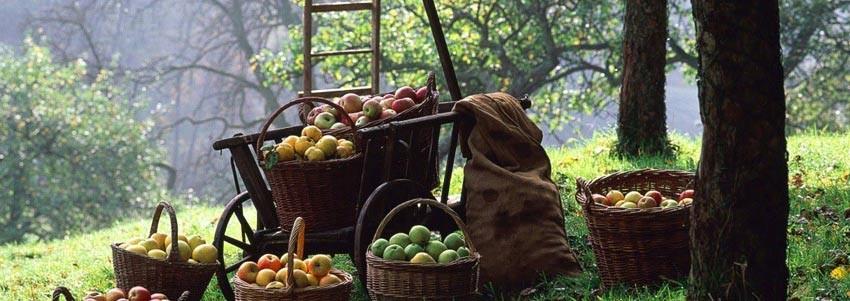 Урожай яблок собран